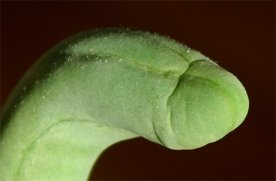 Tumbuhan Erotis penis_cactus